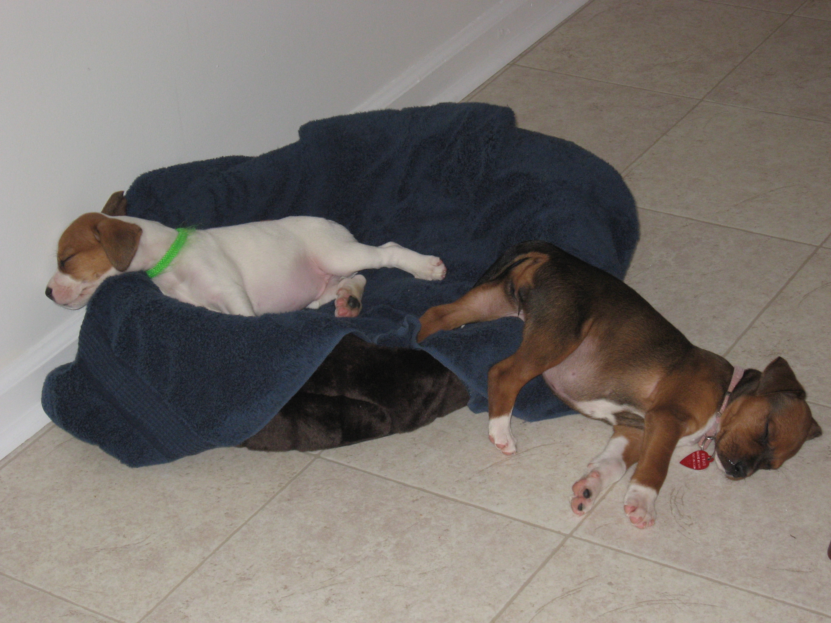 Narcoleptic Puppies