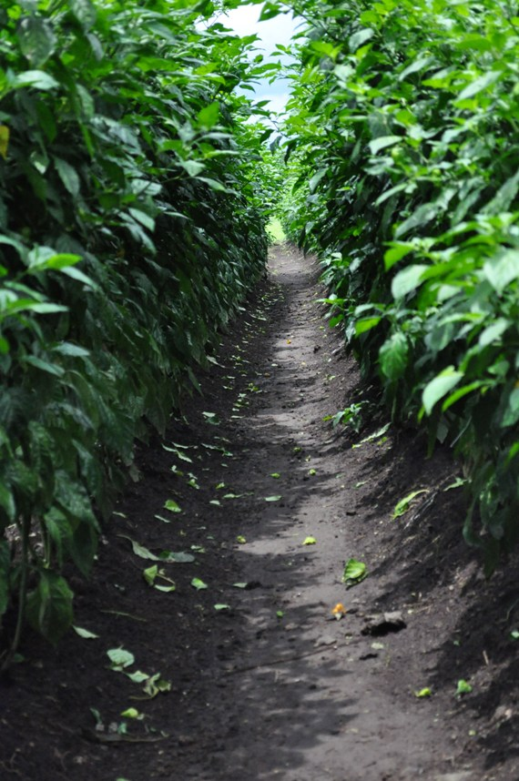 Chile Pepper Row